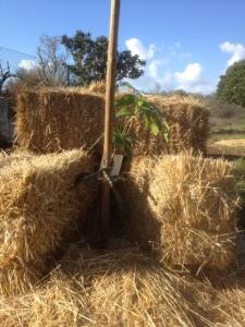 mangoboom beschermd tegen vorst