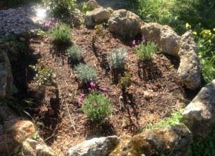 eerste bloei in de lavendel